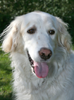 Golden retriever adoptees